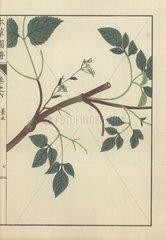 Angelica miqueliana Maxim. plant. Kouhon