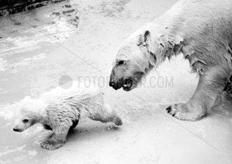 Eisbaer mit Jungem