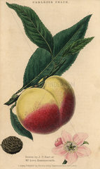 Fruit  blossom and seed of the Noblesse peach
