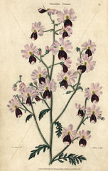 Pink and purple flowered poor man's orchid  Schizanthus pinnatus