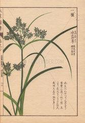 Reeds and blue flowers of Cyperus Iwasakii Mak.