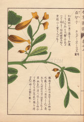 Yellow flowers and leaves of Cheilocostus speciosus