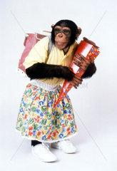 erster Schultag eines Schimpansen