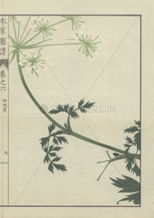 Leaves and flowers on a delicate  curved stem of carum. Ibukiseri
