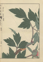 Single crimson peony bud among dark green leaves. Paeonia suffruticosa.