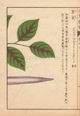 Purple seed and leaves of the long pepper  Piper longum
