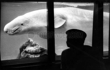 Belugawal im Aquarium