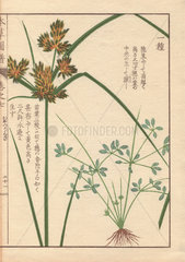 Roots  reeds and flowers of poorland flatsedge  Cyperus compressus L.