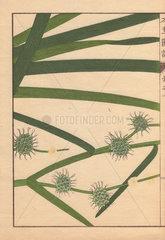 Leaves and seeds of bur-reed  Sparganium racemosum Huds.