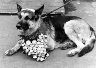 Schaeferhund mit Orden um den Hals