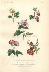 Decorative botanical print with hibiscus  rose  Japanese quince and berries
