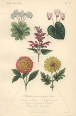 Decorative botanical print with primrose  cyclamen  sage  dahlia and chrysanthemum