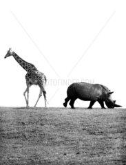 Giraffe und Nashorn