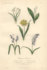 Decorative botanical print with snowdrop  lily of the valley  squill and bluebell