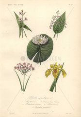 Decorative botanical print with arrowhead  plantain lily  waterlily and iris