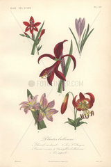 Decorative botanical print with gladiolus  crocus  lily  amaryllis and superb lily