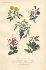Decorative botanical print with rose  sweetpea  wisterea  honeysuckle and cathedral bell