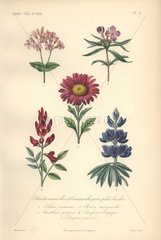 Decorative botanical print with sweet william  primrose  aster  goat's rue and lupin