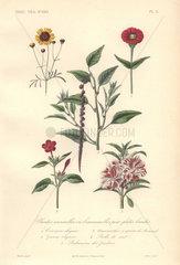 Decorative botanical print with tickseed  zinnia  amaranth  jalapa and impatiens