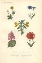 Decorative botanical print with cinquefoil  cornflower  musk  saxifrage and Maltese cross