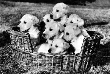 Hundewelpen Koerbchen