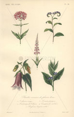 Decorative botanical print with valerian  heliotrope  toadflax  bellflower and bugloss