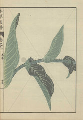 Four opposing leaves on a single stem of Inula helenium. Yellowhead. Mokkou.