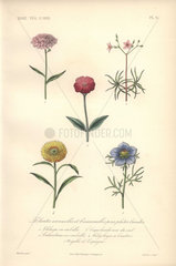 Five annuals: pink thlaspi  calandrina  silene coeli-rosa  everlasting  and love in a mist.