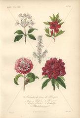 Decorative botanical print with laurel  azalea  heather  camellia and rhododendrum