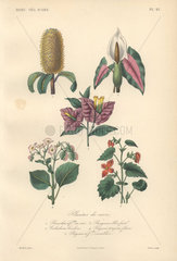Decorative botanical print with banksia  caladium  bougainvillea and begonia