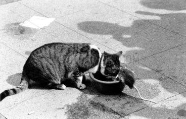 Katze und Ratte fressen aus gleichem Napf