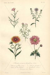 Decorative botanical print with chironia  daisy  sweet leaf  blanket flower and anemone