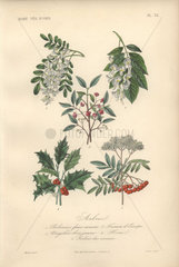 Decorative botanical print with locust tree  yellowwood  spindle  holly and rowan