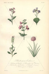 Decorative botanical print with Virginia stock  poor man's orchid  wallcress and sea pink