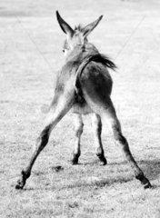 Esel beim Spagat