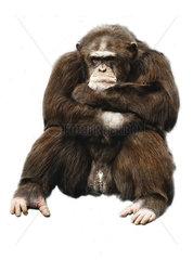 Muffeliger Gorilla