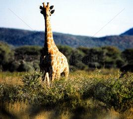 Giraffe mit vier Ohren