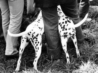 Zwei Dalmatiner am Bein