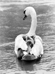 Schwan schwimmt mit Nachwuchs auf Ruecken
