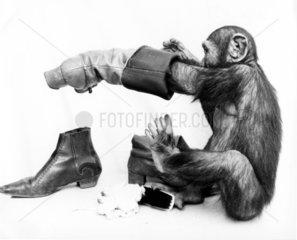 Schimpanse putzt Schuhe