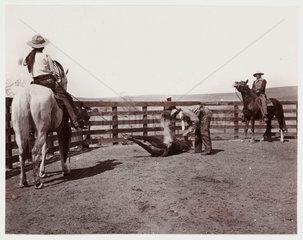 Branding a bull  c 1925.