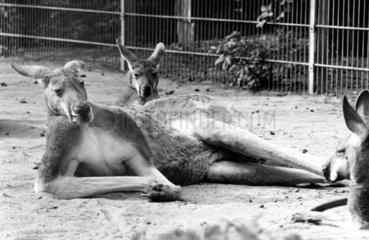 Faule Kaenguruhs liegen herum