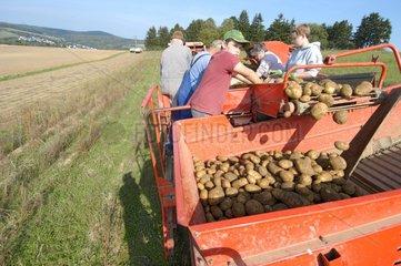 Sortieren bei Kartoffelernte