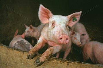 Schweine in traditioneller Zucht