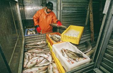 Arbeiten an Bord eines deutschen Fischtrawlers im Atlantik - Manuelles Sortieren von Frischfisch im Kuehlraum des Schiffes