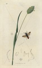 Oryssus coronatus  Oryssus abietinus wood-wasp