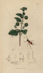 Pezomachus hopei  Short-winged Ichneumon wasp