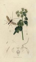 Zele albitarsus  White-footed Ichneumon