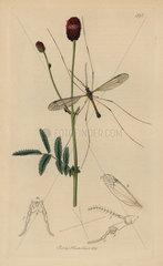Tipula longicornis  Long-horned daddy long-legs