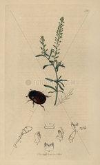 Sphaeridium quadrimaculatum  Four-spotted Dung Beetle